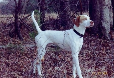 A white with tan Pointer is standing in an area where there are leaves and trees around it and it is looking to the right. Its tail is up high in the air.