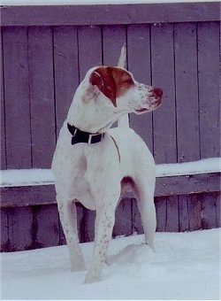 Front side view - A white with tan Pointer is standing in snow and it is looking to the right. Behind it is a wooden privacy fence.