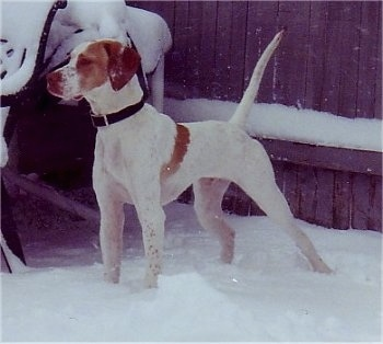 Front side view - A white with tan Pointer dog is standing in snow looking to the left and behind it is a wooden privacy fence.