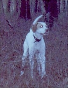 A white with tan Pointer is standing in medium sized brown grass and it is looking to the right.