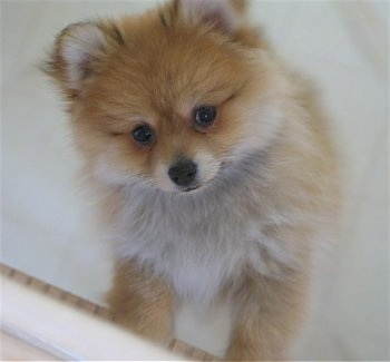 A tan with white Pomeranian puppy is standing up against a cabinet and it is looking up. It looks like a little stuffed fox toy.
