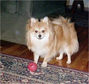 A tan with white Pomeranian dog is standing on a rug with its back legs on a hardwood floor and there is a red ball in front of it. The Pomeranian is looking forward. Its legs are thin compared to its fluffy body.