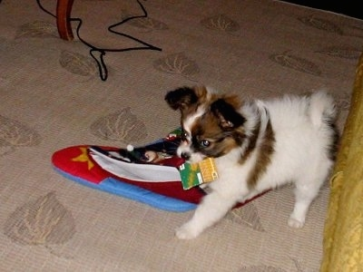 Side view - A white with brown and black Papillon puppy is standing on a tan carpet that has prints of leaves on it and it is biting a Christmas stocking. Its backside is against a yellow couch.