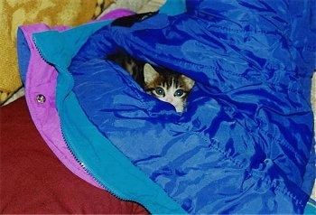 Tigger the Kitten is laying inside of a bright blue coat sleeve