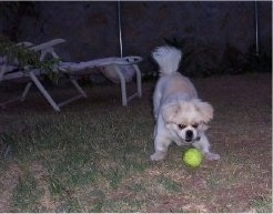 A white with tan Peek-a-poo is play bowing in grass at a green tennis ball that is in front of it. It is night time and there are lawn chairs behind it.