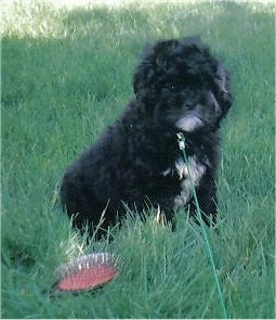 A black with white Peek-a-poo is sitting in medium sized grass. There is a grooming brush in front of it. The dog looks like it has a frown on its face.