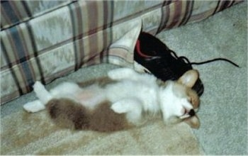 A tan with white Pembroke Welsh Corgi puppy is sleeping belly-up on its back and next to its head is a black sneaker shoe.
