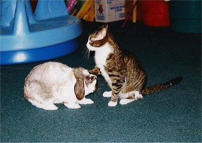 A Cat is sitting in front of a rabbit with one of its front paws on the bunnys head while looking forward