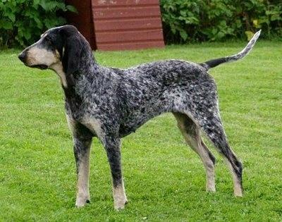 SABUESO AZUL DE GASCUÑA - PETIT BLEU DE GASCOGNE Razas Caninas