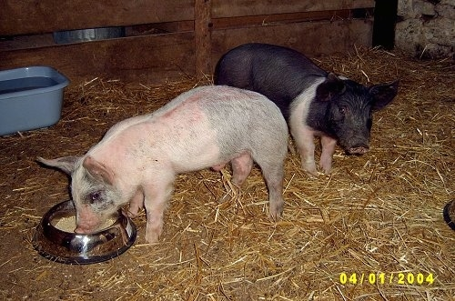 A pink with grey and white Piglet is eating food out of a silver bowl. There is a black with pink piglet standing behind it and looking forward inside of a barn stall.