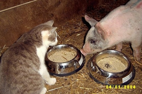 A pink with grey and white Piglet is looking at the food bowls in front of it. There is a cat looking at the piglet. They are inside of a barn.