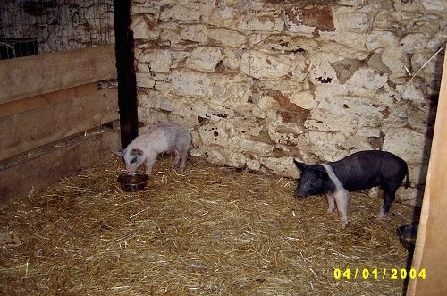 A pink with grey and white Piglet is standing in front of a stone wall in an old barn and it is looking down at a food bowl. There is a black with pink Piglet standing across the room.