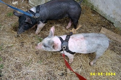 A black with pink Piglet and a pink with grey and white Piglet are wearing harnesses and they are looking to the left.