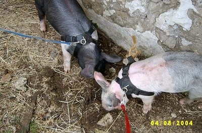A black with pink Piglet and a pink with grey and white Piglet are rooting through dirt. They are wearing harnesses and are on leashes standing against a stone wall.