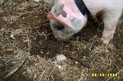 Close up - A pink with grey and white Piglet is rooting through dirt with its nose.