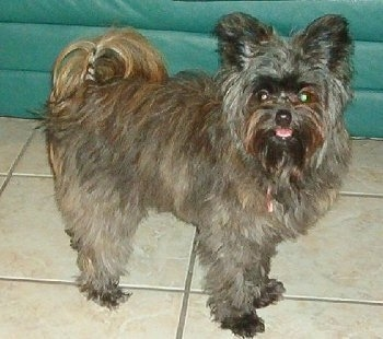 A longhaired, grey with black and tan Pomapoo is standing on a tiled floor and it is looking forward. Its mouth is open and its tongue is out. It has longer fringe hair on its tail.
