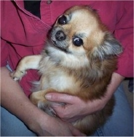 Top down view of a brown with tan Pomchi puppy that is laying in the arms of a person. The dog is looking up and forward.