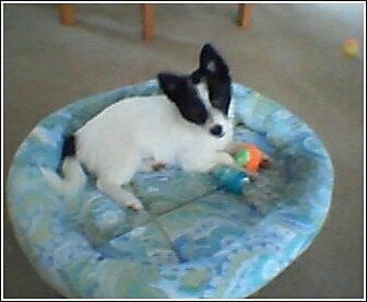 Side view - A perk eared, white with black Pomchi puppy is laying on a blue dog bed, its head is tilted to the left and it is looking up. There are dog toys in front of it.