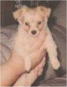 A small tan Pomchi puppy is being held up in a persons hands over top of a couch.