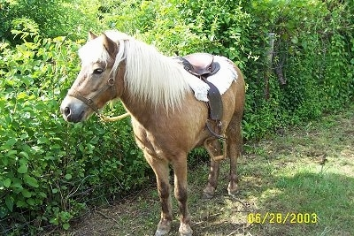 A tan with white Pony is standing next to a line of bushes and it is looking to the left. It has a saddle on its back.