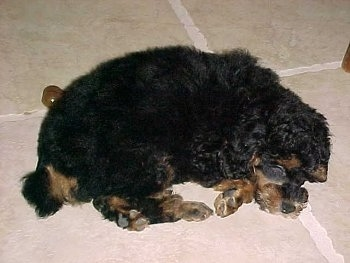 A black with brown Miniature Poodle Puppy is sleeping on a tan tiled floor.
