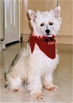 Yoshi the Chinese Crested Powderpuff is wearing a red bandana and is sitting on a tiled floor