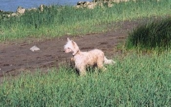 Yoshi the Chinese Crested Powderpuff Puppy is standing in grass and looking to the right