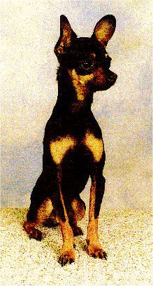 View from the front, A small breed, black and tan Prazsky Krysarik dog is sitting on a table looking to the right.