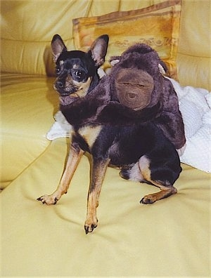 Front side view - A shorthaired, black with tan Prazsky Krysarik dog is sitting on a yellow leather couch and it is looking forward. There is an ape plush doll with its arm wrapped around the dogs neck.