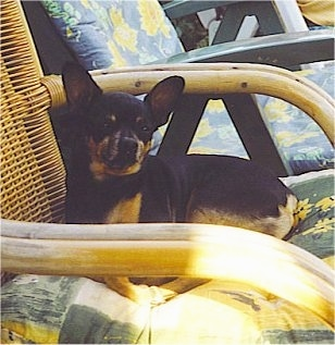 Side view - A shorthaired, perk eared, black and tan Prazsky Krysarik dog is laying outside on a brown wicker chair and it is looking forward. There is a green wooden chair behind it.