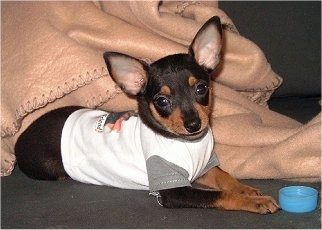 The left side of a black with tan Prazsky Krysarik puppy wearing a white shirt. The puppy is looking forward. There is a blue cap in front of its mouth.