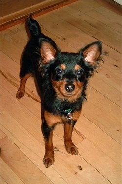 Front view looking down at the dog - A black with brown Prazsky Krysarik is standing on a hardwood floor and it is looking up. It has longer fringe hair on its perk ears.