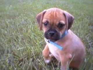 A red with white Puggle puppy is sitting in grass and it is looking forward. Its right paw is in the air.