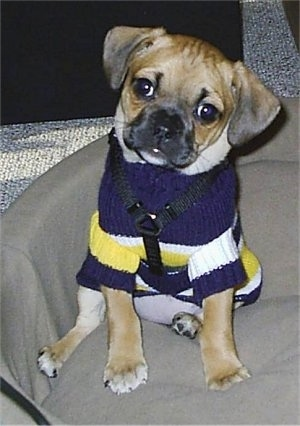 A tan with black Puggle puppy is sitting in a tan dog bed and it is looking forward. Its head is tilted to the right and it is wearing a blue with white and yellow sweater.