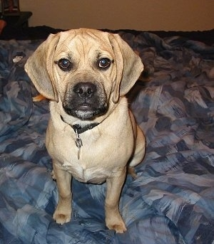 Toby the Puggle (Pug / Beagle hybrid) at 17 months old