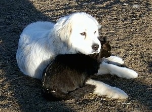 A Great Pyrenees is laying in dirt and under its neck is a black cat