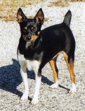 Front side view - A black with brown and white Rat Terrier dog is standing across a gravelly surface looking forward. It has perk ears and a docked tail that is standing up in the air. Its body is mostly black with some tan on its legs, face and inner ears and it has white on its front legs, chest and back paws.