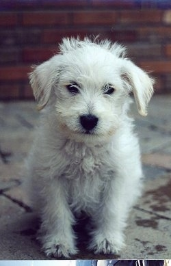 Front view - A white with tan Schnoodle puppy is sitting on a concrete tiled porch looking forward and it looks like it is smiling. It has longer straggly hair on its head and fuzzy hair on its body.