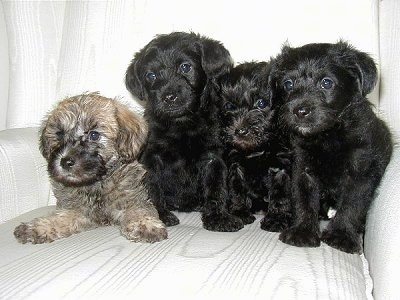 Four Schnoodle Puppies are sitting and laying on a couch. They are looking to the left and their heads are tilted forward. The first puppy is tan and black and the other three are all black.