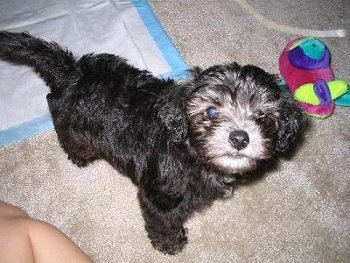 Top down view of a black Schnoodle puppy that is standing on a carpet and it is looking up. There is a colorful plush toy and a pee pad behind it.