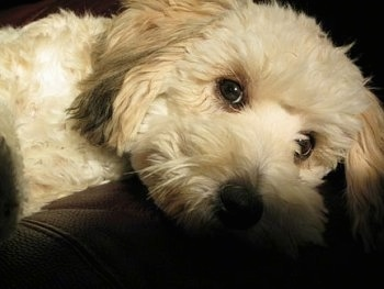 Close up front view - An apricot Schnoodle puppy is laying across the arm of a couch and it is looking forward.