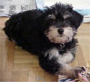 A black with tan Schnoodle puppy is laying across a hardwood floor. It is looking up and there is a rope toy in its front paw.