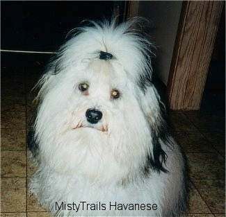 A fluffy, long haired, white with black dog is sitting on a tiled floor and it is looking forward. Its hair is tied up.