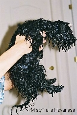 The right side of a dripping wet black longhaired puppy that is being held in the air by a persons hand and it is looking to the right.