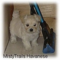 Close up - A small white with tan Havanese puppy is standing on a tiled floor and to the right of it is a mop.