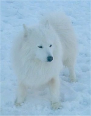 View from the top looking down - A fluffy, white Samoyed is standing in snow and it is looking to the right.
