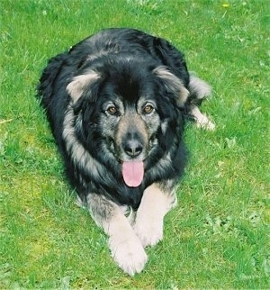 sarplaninac dog breed information and pictures