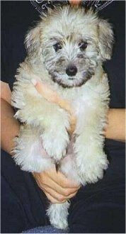 Close up - A fluffy little tan with black Schnoodle puppy is in the arms of a person sitting on a couch.