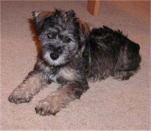 Schnoodle Puppy Dogs
