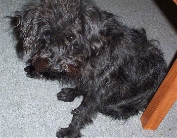 Close up - A rough looking long haired black Schnoodle is sitting on a carpet and under a wooden chair. It is looking up.